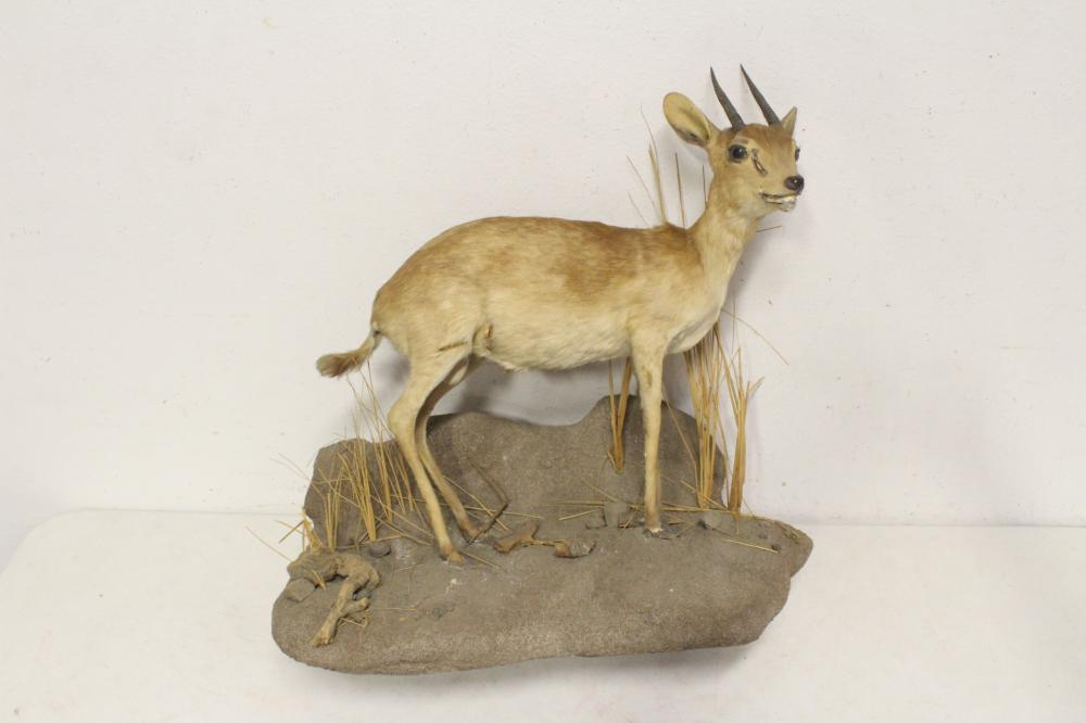 Full body taxidermy of Dikdik