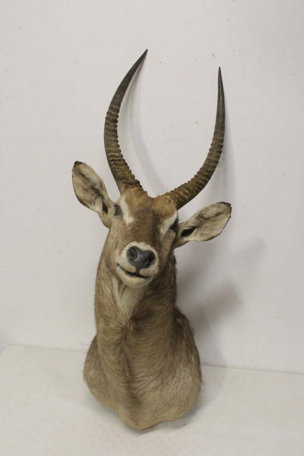 large shoulder mount taxidermy of long horn