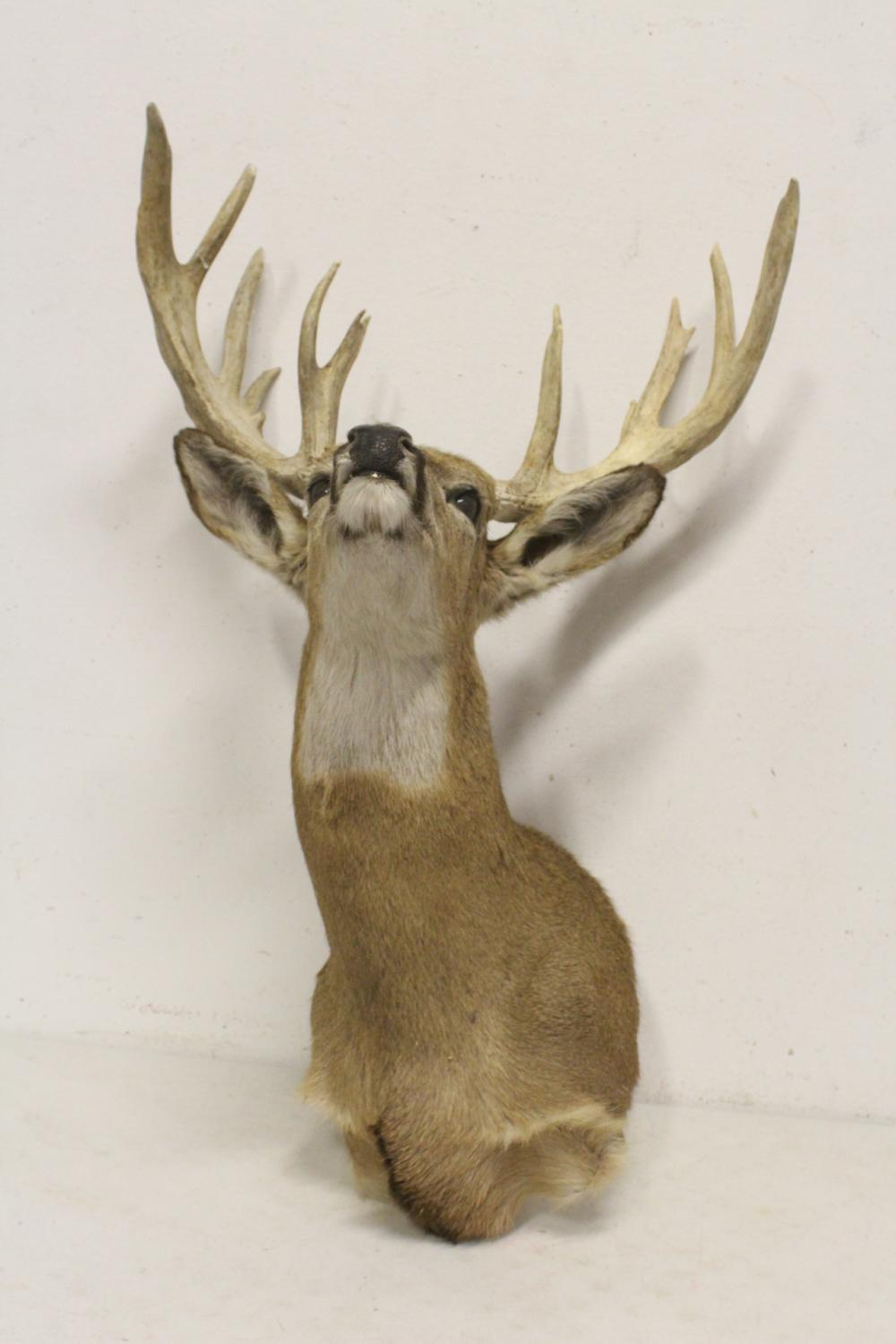 Lot 44: shoulder mount taxidermy of mountain goat