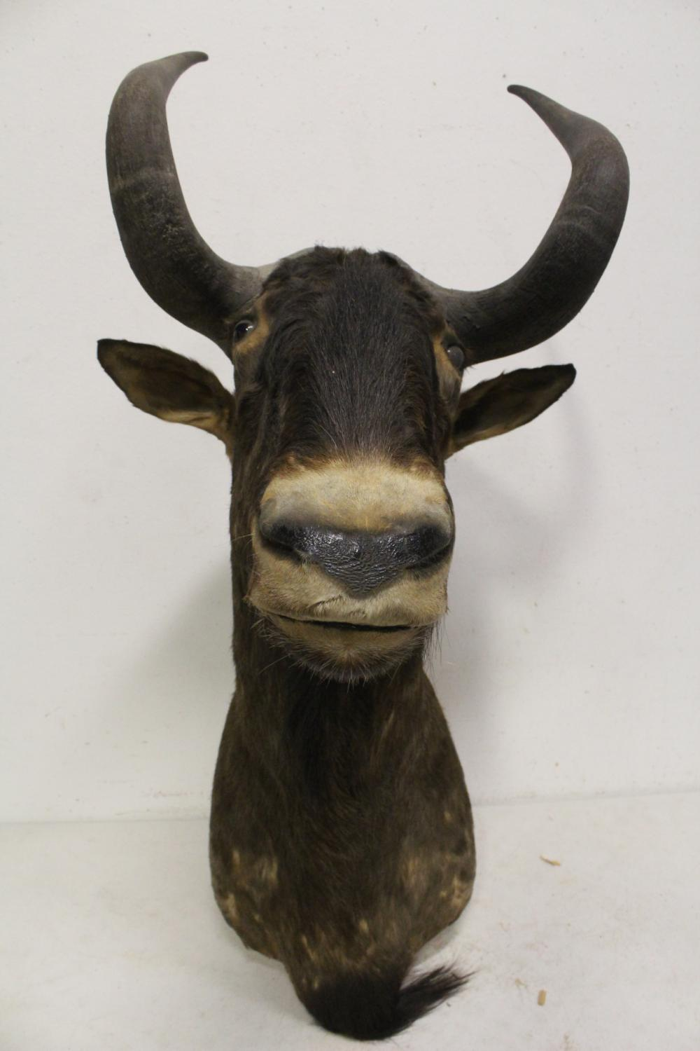 rare shoulder mount taxidermy of gnu