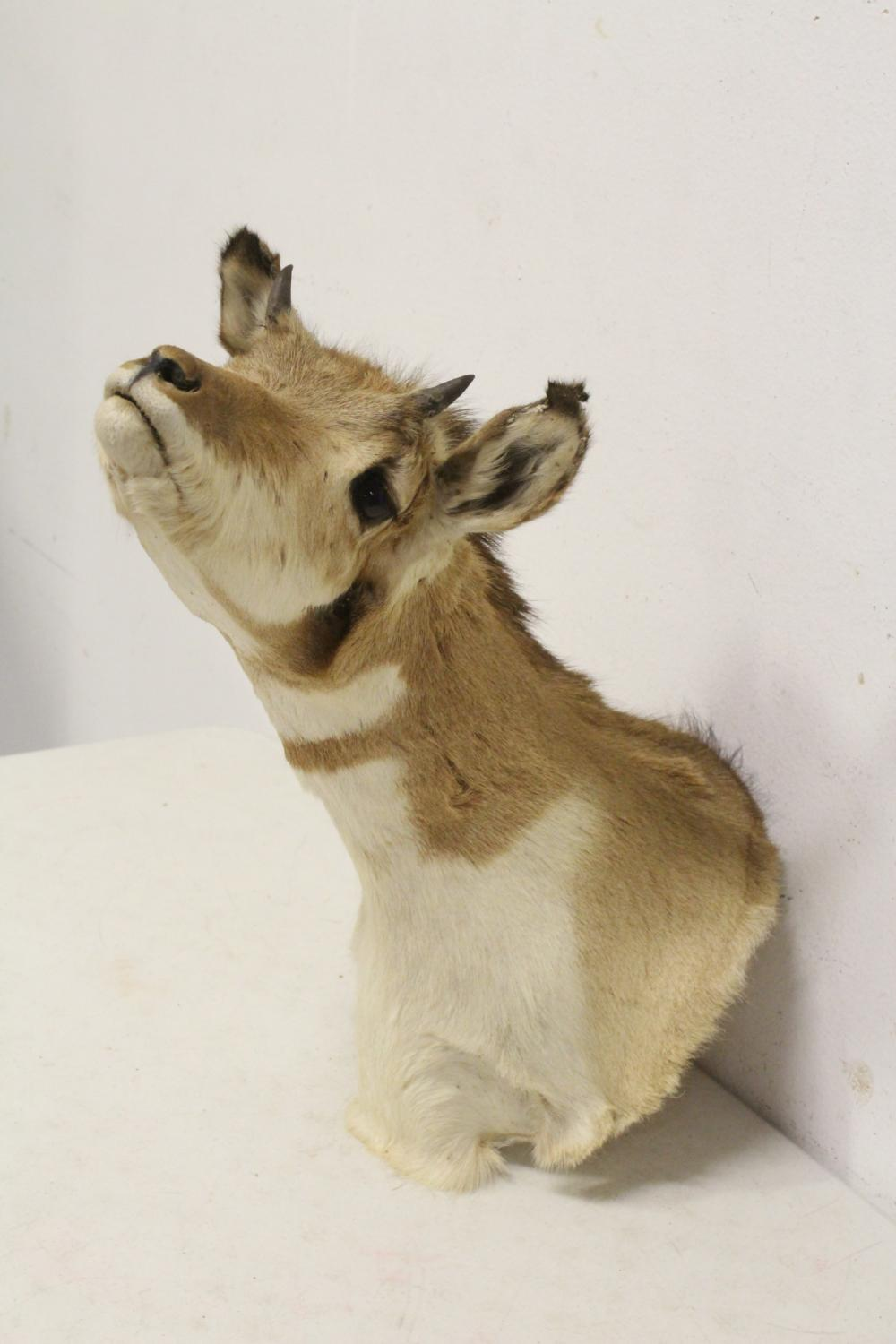 Lot 46: shoulder mount taxidermy of ?