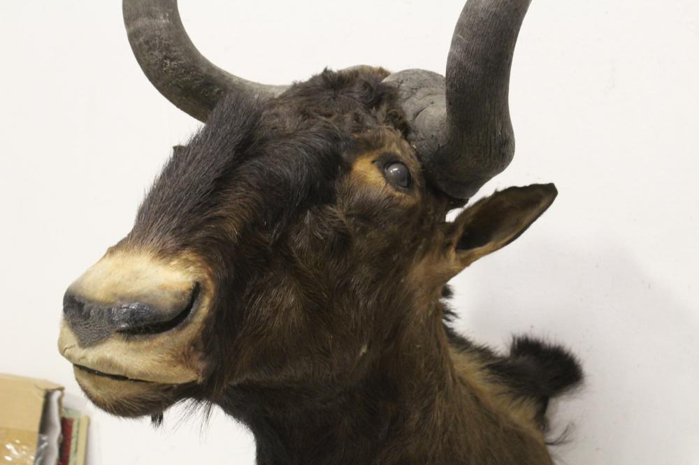 Lot 45: rare shoulder mount taxidermy of gnu