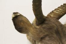 Lot 43: large shoulder mount taxidermy of long horn