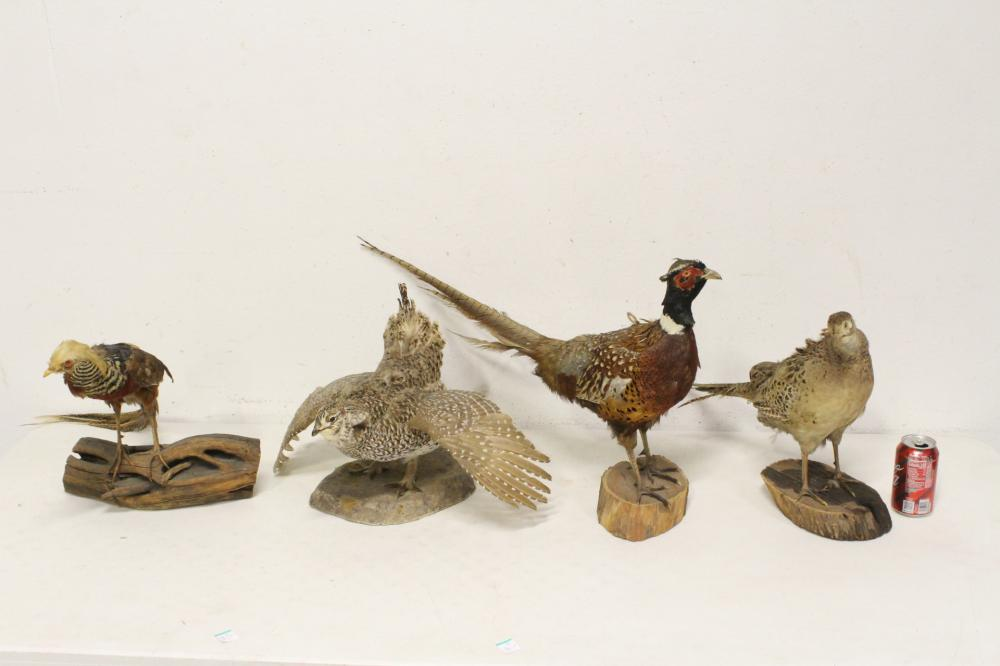 4 taxidermy of pheasant