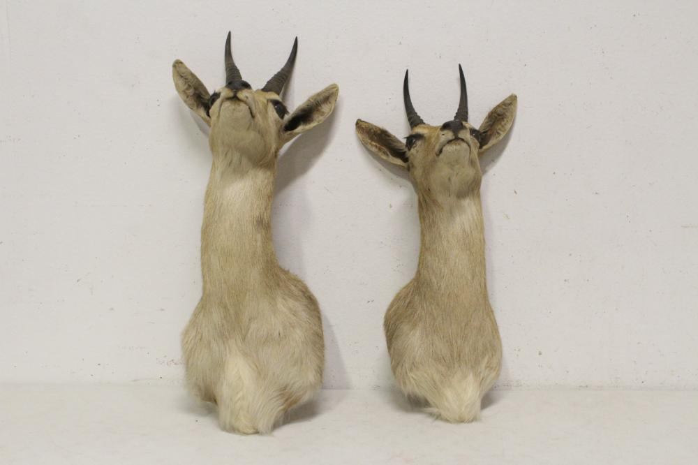 Lot 47: 2 shoulder mount taxidermy of mountain goat