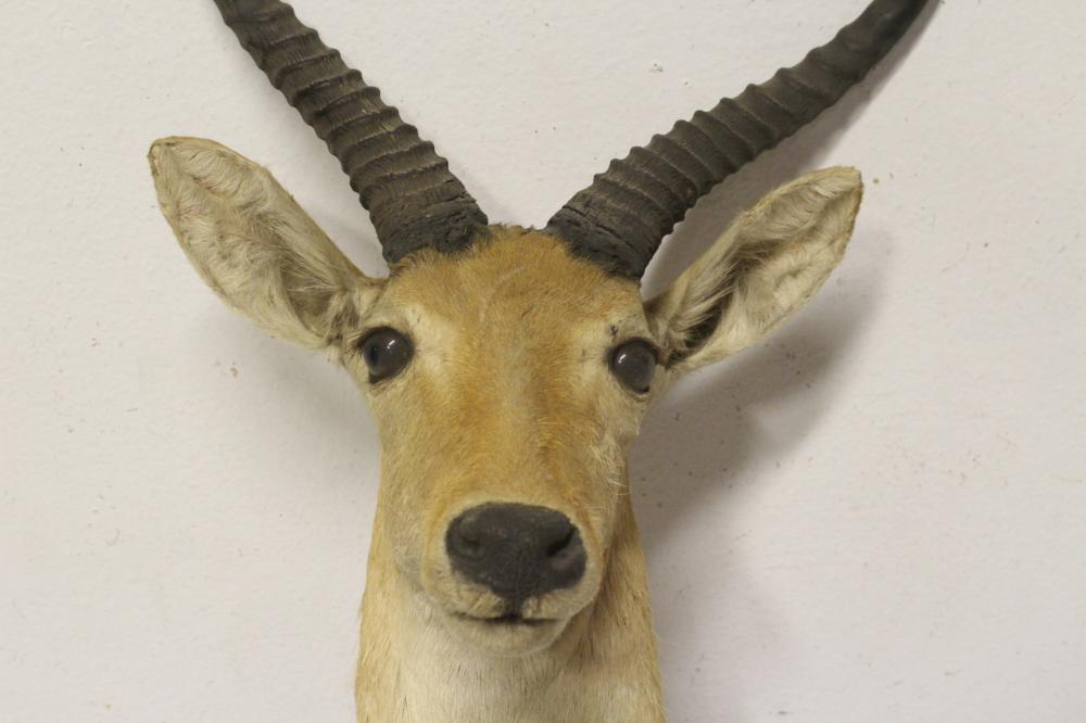 Lot 48: 2 shoulder mount taxidermy of mountain goat