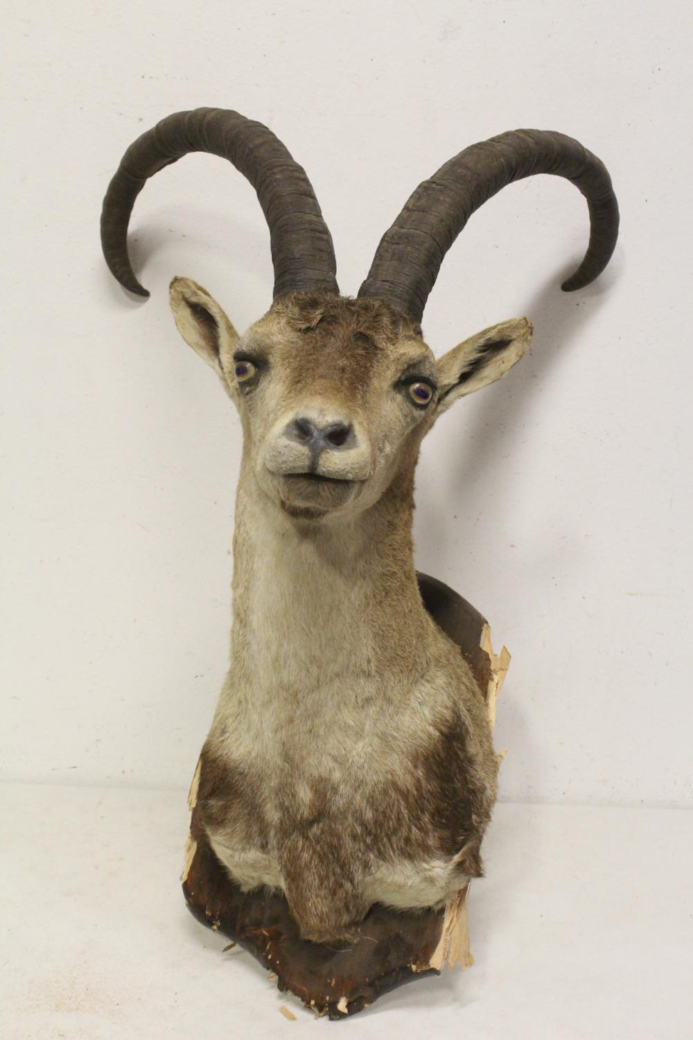 A shoulder mount of taxidermy of big horn