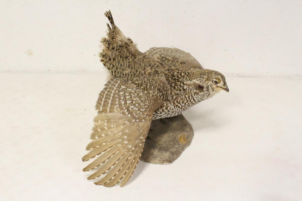 Lot 49: 4 taxidermy of pheasant