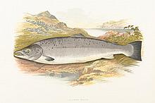 ENGLISH SCHOOL «British Freshwater Fishes by Rev W Houghton». Color engraving