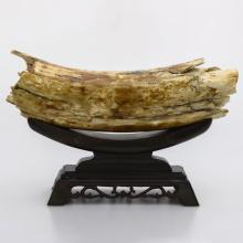 Fossil Genuine Mammoth Ivory Tusk Uncarved  Small 661