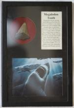 Megalodon Shark's Tooth in Display Case