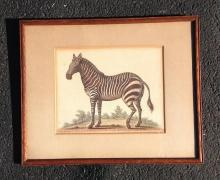 CIRCA 18TH C COLOR ENGRAVING OF ZEBRA, ON BOTTOM READS- DRAWN FROM A STUFF'D SKIN IN THE ROYAL COLLEGE OF PHYSICIANS, LONDON, FRAME MEASURES 13