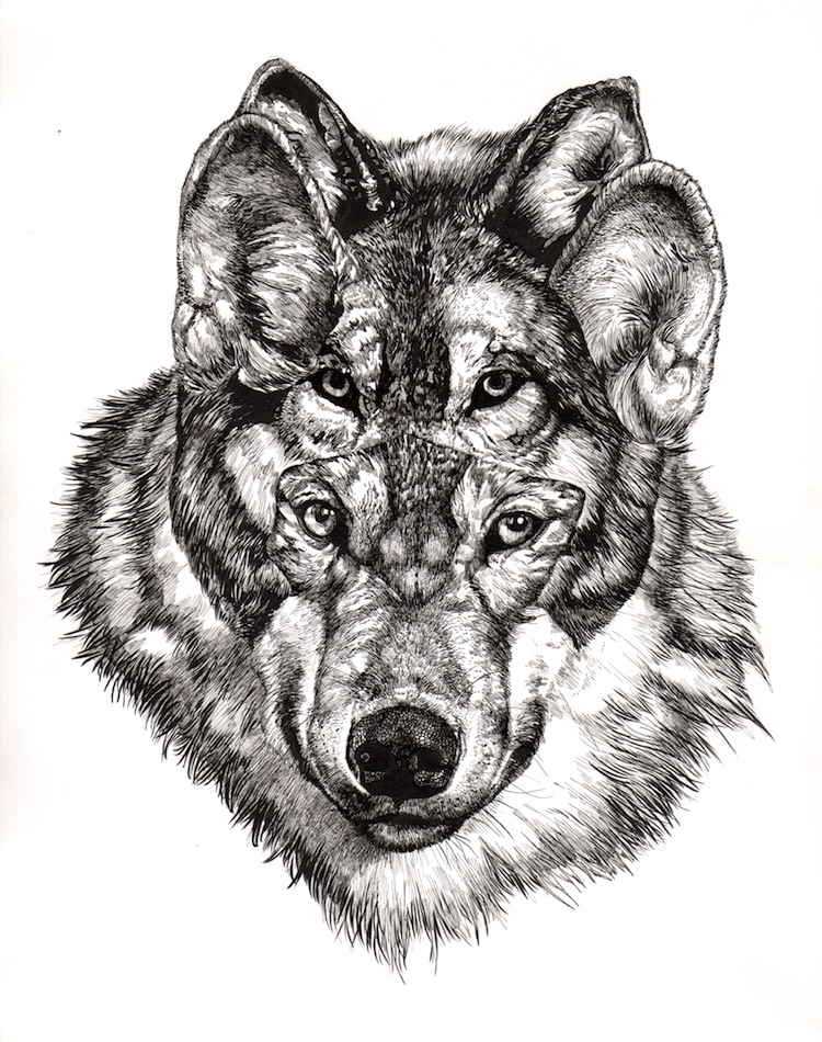 Grey Wolf - Original Drawing by Juan Travieso