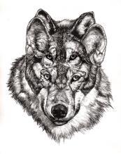 Grey Wolf - Original Drawing by Juan Travieso
