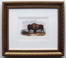 Audubon American Bison Framed