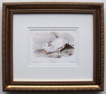 Audubon Northern Hare Framed