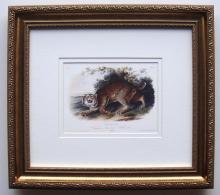 Audubon Quadruped Common Wild Cat