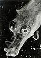 Jean Painlevé (1902-1989) L'hippocampe (cheval, Jean Painlevé, Click for value