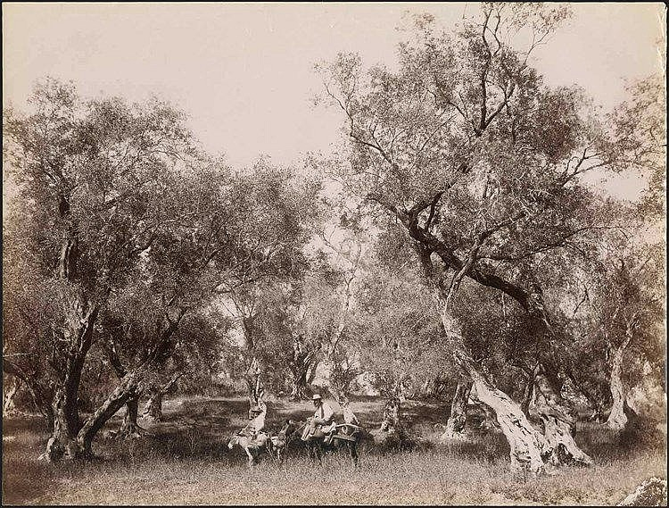 ΚΕΡΚΥΡΑ - CORFU. Rare albumen photo dim.27.5x21cm. Unknown photographer. Two men in olive grove, on horse and donkey. Cachet