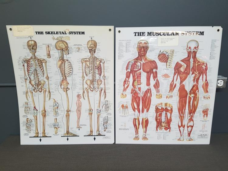 The Skeletal and Muscular System Charts, Chicago, Il. Peter Bachin