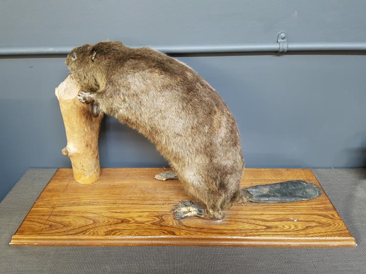 Vintage Taxidermy Beaver