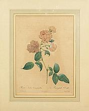 BOTANIK.- J. M. Langlois nach P . J. Redouté. Rosa