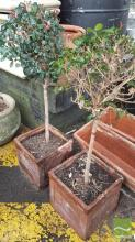 Pair of Topiary Plants in Planters and A Varied Collection of Planters