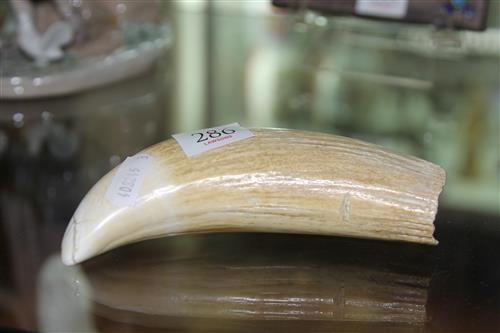 Whales Tooth
