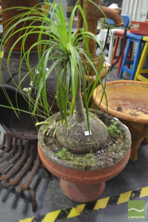 Ponytail Fern in Planter