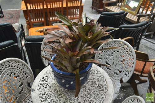 Bromeliads in blue Glaze Pot