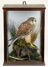 Victorian Taxidermy of a Falco Tinnunculus