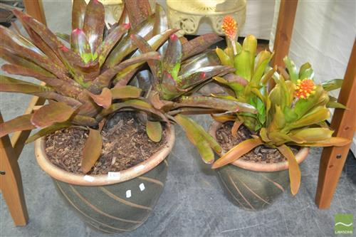 Two Bromeliads in Graduating Glazed Pots