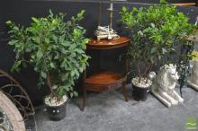 Pair of Hedging Ficus Plants