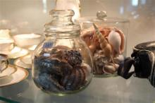 Various Vintage Shells in Glass Cases