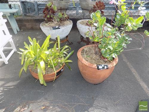 Pair of Plants in Terracotta Planters