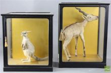 Taxidermy Style Deer And Kangaroo In Display Cabinets