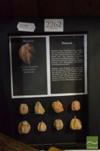 Framed Blastoid Fossils