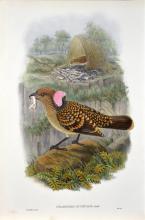 John Gould (1804 - 1881) - CHLAMYDERA OCCIPITALIS 54.5 x 37cm (sheet size)