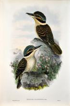 John Gould (1804 - 1881) - MELIDORA MACRORHINA 54.5 x 37cm (sheet size)