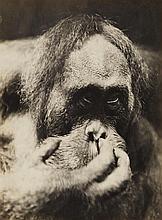 Albert Renger-Patzsch, Orang Utan, c. 1928