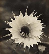 Albert Renger-Patzsch, Blüte einer Echinopsishybride, c. 1928