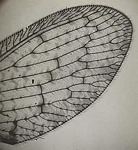 Imre Kinszki, Wing of a lacewing, 1930s