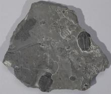 Slate Fossil Plate