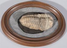 Trilobite Fossil, Paleozoic Age