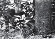 Herb Weitman, St. Louis, Four Animal Photographs, Black and white silver gelatin prints, 13 1/4 inches x 19 inches