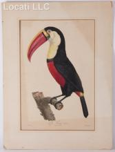 After Jacques Barraband, Color Engraving of a Toucan