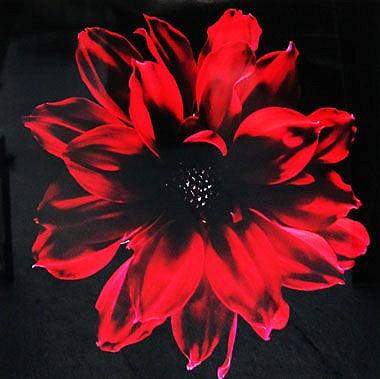 THOMAS DE HOGHTON (b.1980), 'Carnation', lambda