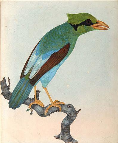 THOMAS LEWIN (b.1774) 'Cissa Thalassina' (Borneo