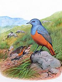 PHILIP CLANCEY (b.1917) Cape Rockthrushes, Hoopoe,