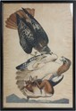 AUDOBON RED TAILED HAWK FALCO BOREALIS HAVELL ED